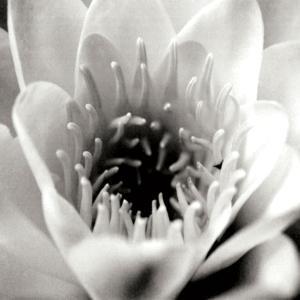 Classic Lotus Square by Erin Berzel