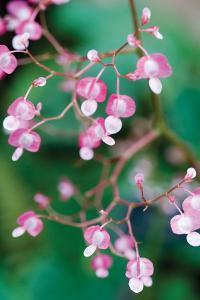 Delicate Begonia I by Erin Berzel