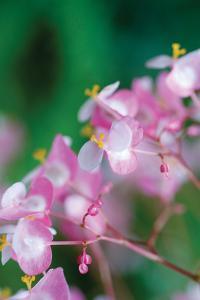 Delicate Begonia II by Erin Berzel