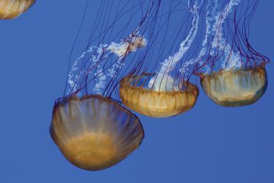 Jellyfish VI