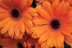 Orange Gerbera Daisies by Erin Berzel