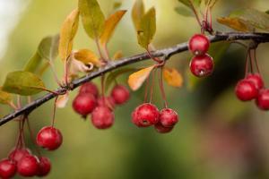 Red Berries II by Erin Berzel