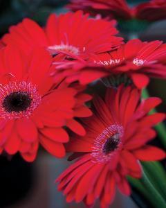 Red Gerbera Daisies I by Erin Berzel