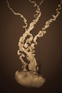 Sea Nettle IV by Erin Berzel