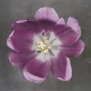 Purple Tulip by Erin Clark