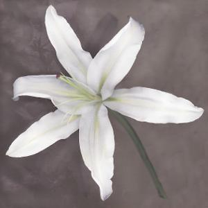 White Lily by Erin Clark