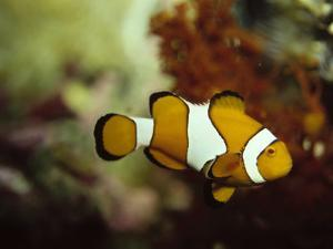 Clown Fish, Great Barrier Reef, Australia by Ernest Manewal