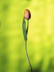 A Single Tulip by Ernie Friedlander