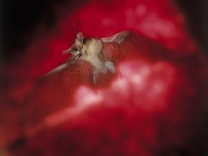 Bat with Wings Spread in Flight and Mouth Open by Ernie Friedlander