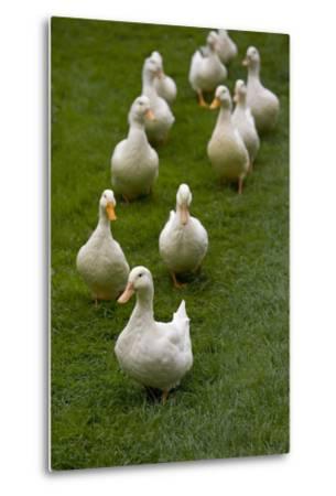 Aylesbury Ducks Following In A Line On Village Green, Weedon, Buckinghamshire, UK, October