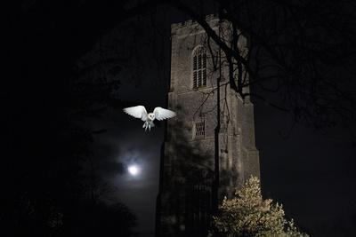 Barn Owl (Tyto Alba) Flying Past the Tower of St James Church with Moon Behind