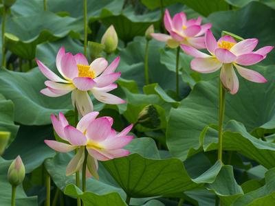 Indian lotus (Nelumbo nucifera) flowers, Melbourne Botanic garden, Victoria, Australia.