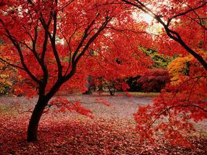 Japanese Maples in Autumn by Ernie Janes