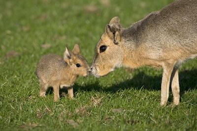 Mara - Patagonian Cavy (Dolichotis Patagonum) Adult With Young, Captive