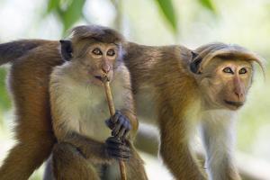 Toque Macaque (Macaca Sinica Sinica) Group Feeding in Garden, Sri Lanka by Ernie Janes