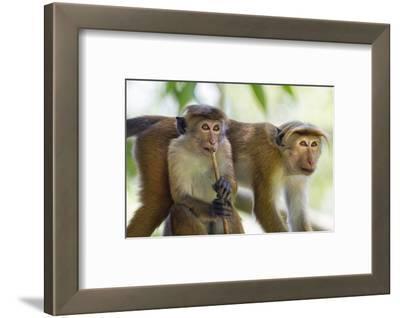 Toque Macaque (Macaca Sinica Sinica) Group Feeding in Garden, Sri Lanka