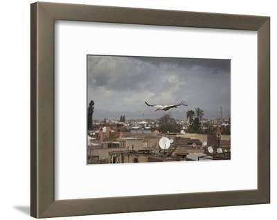 White Stork (Ciconia Ciconia) in Flight over City Buildings. Marakesh, Morocco, March