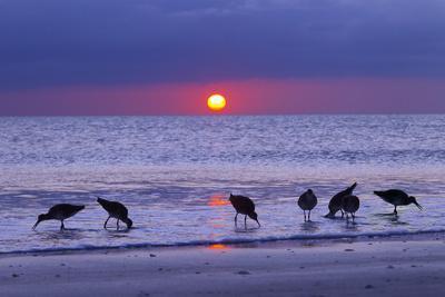 Willets (Catoptrophorus Semipalmatus) Feeding at Sunset Gulf Coast, Florida, USA, March