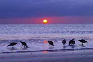 Willets (Catoptrophorus Semipalmatus) Feeding at Sunset Gulf Coast, Florida, USA, March by Ernie Janes
