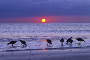 Willets (Catoptrophorus Semipalmatus) Feeding at Sunset Gulf Coast, Florida, USA, March by Ernie Janes