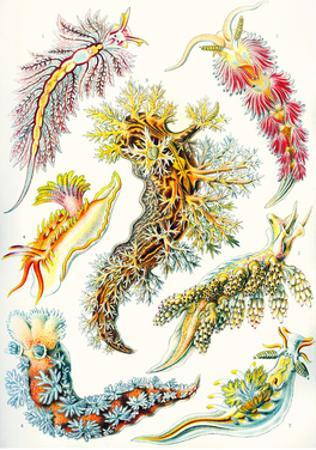 A Collection of Nudibranchia from 'Kunstformen Der Natur', 1899