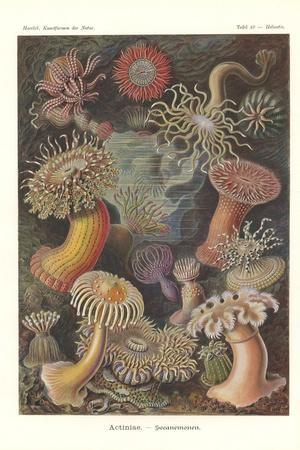 Actiniae - Sea Anemone, Pl.49, from 'Kunstformen Der Natur', Engraved by Adolf Giltsch, Published…