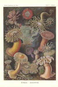 Actiniae - Sea Anemone, Pl.49, from 'Kunstformen Der Natur', Engraved by Adolf Giltsch, Published… by Ernst Haeckel