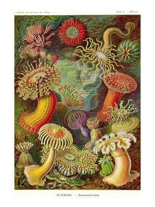 Actiniae by Ernst Haeckel