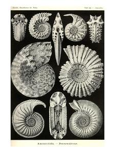 Ammonites by Ernst Haeckel