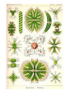 Amoebas by Ernst Haeckel