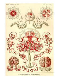 Anthomedusae by Ernst Haeckel