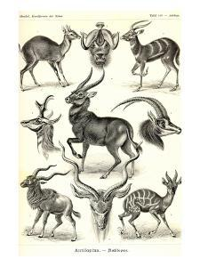 Antilopina by Ernst Haeckel