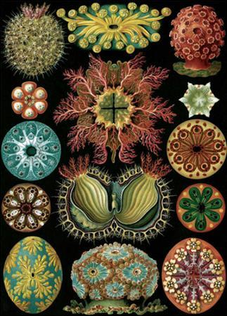 Art Forms of Nature, Ascidiacea (Sea Squirts)