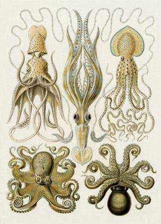 Art Forms of Nature, Gamochonia by Ernst Haeckel