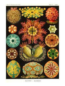 Ascidiae by Ernst Haeckel