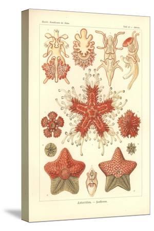 Asteridea - Sea Star, Pl.40. from 'Kunstformen Der Natur', Engraved by Adolf Giltsch, Published…
