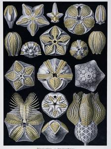 Blastoidea, Plate from Artforms of Nature, C.1899-1904 by Ernst Haeckel