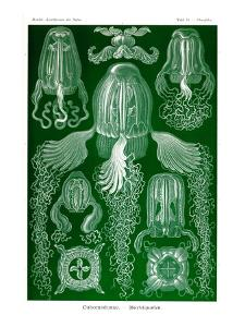 Box Jelly Fish by Ernst Haeckel