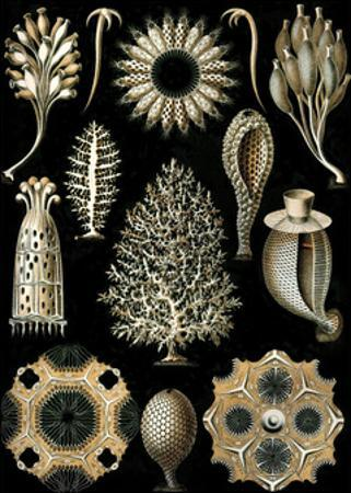 Calcispongiae by Ernst Haeckel