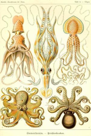 Cephlopods by Ernst Haeckel