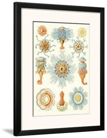 Colonial Jellyfish, Tablet 93, c.1899-1904