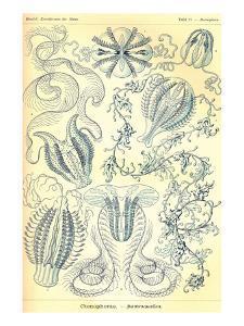 Ctenophorae by Ernst Haeckel