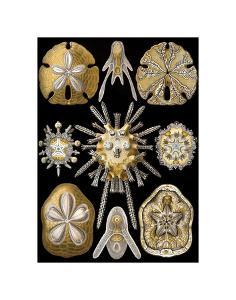Echinidea by Ernst Haeckel