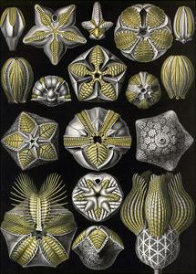 Echinoderms by Ernst Haeckel