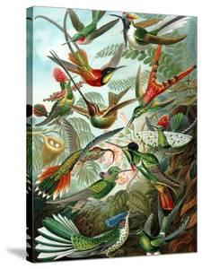 Example from the Family Trochilidae, 'Kunstformen Der Natur', 1899 by Ernst Haeckel