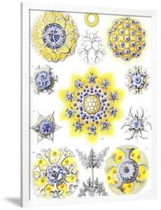 Examples of Polycyttaria 'Kunstformen Der Natur', 1899 by Ernst Haeckel