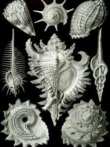 Examples of Prosranchia - Shells from a Variety of Prosobranch Gastropods, from 'Kunstformen Der… by Ernst Haeckel