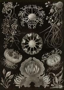 Funji by Ernst Haeckel