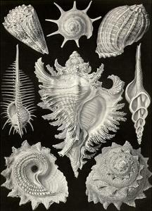 Gastropods by Ernst Haeckel