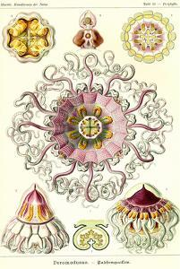 Jelly Fish by Ernst Haeckel